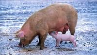 Primer cultivo de órganos humanos en cerdos