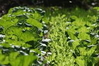 Las verduras de hoja verde protegen el intestino