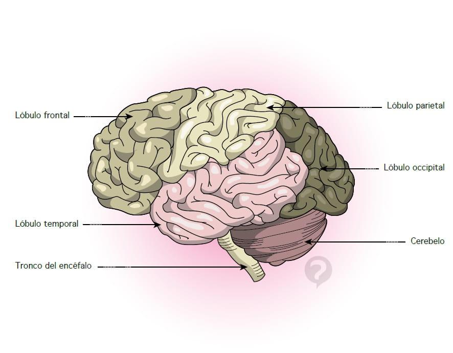 Tronco cerebral - Definición
