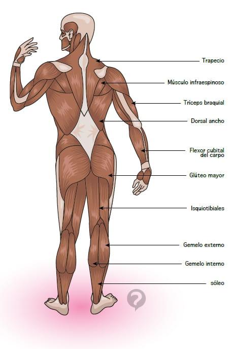 Lujo Foto Músculos Isquiotibiales Composición - Anatomía de Las ...