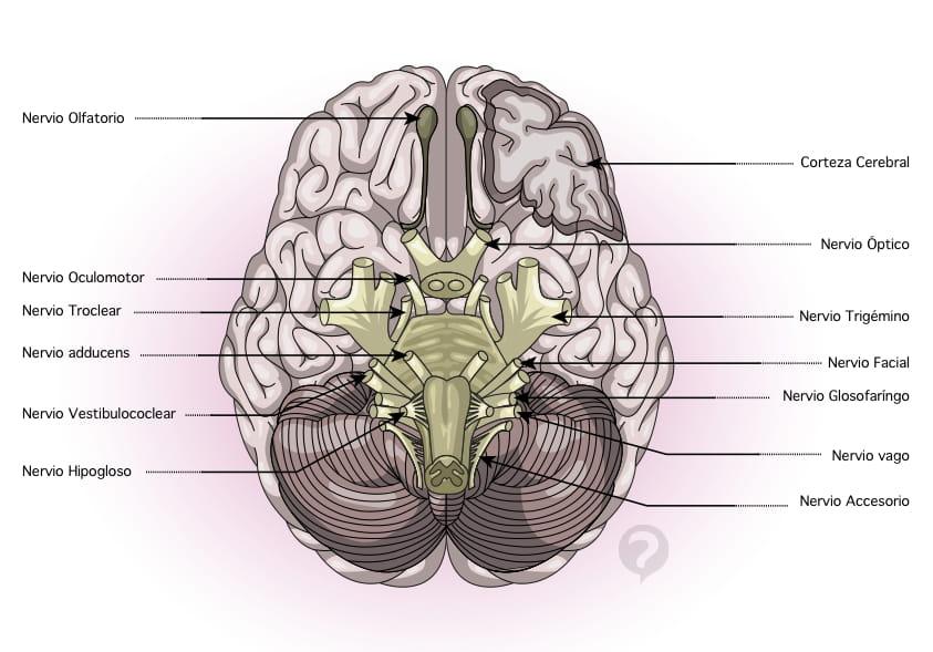 Corteza cerebelosa capas pdf to word