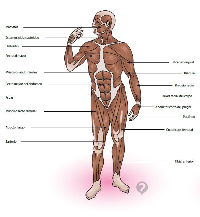 Músculo esternocleidomastoideo - Definición