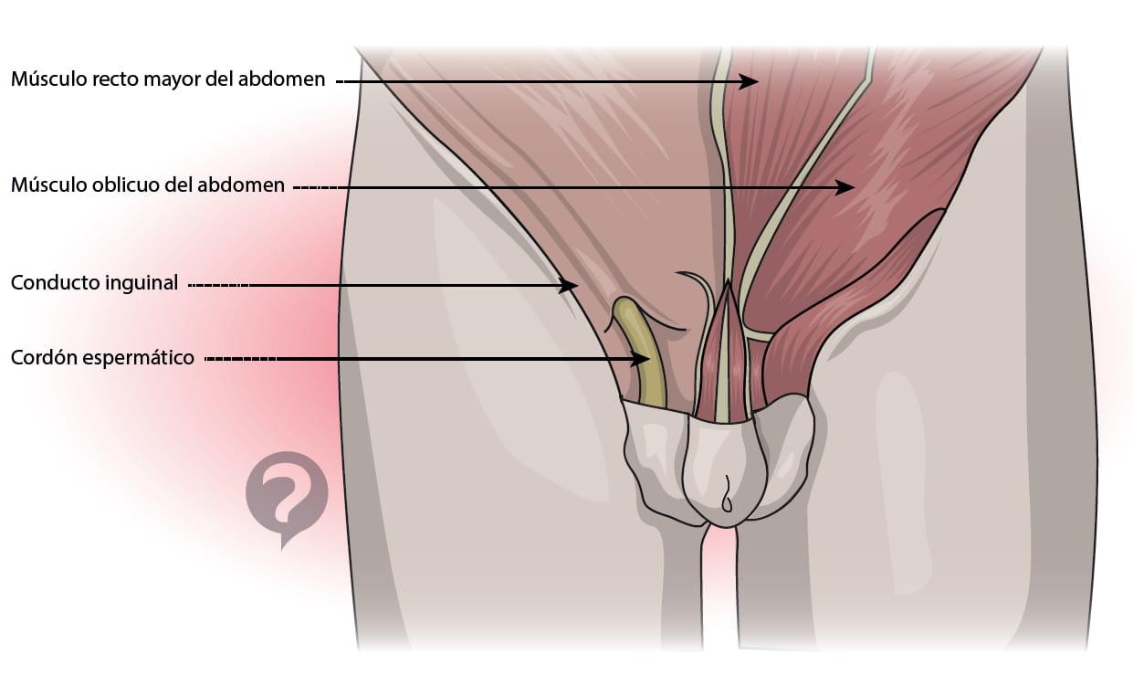 Cordón espermático - Definición