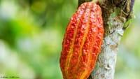 Cacao, nuevo aliado contra la diabetes