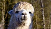 Perú quiere clonar alpacas