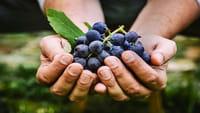 Uva, la fruta que combate el cáncer