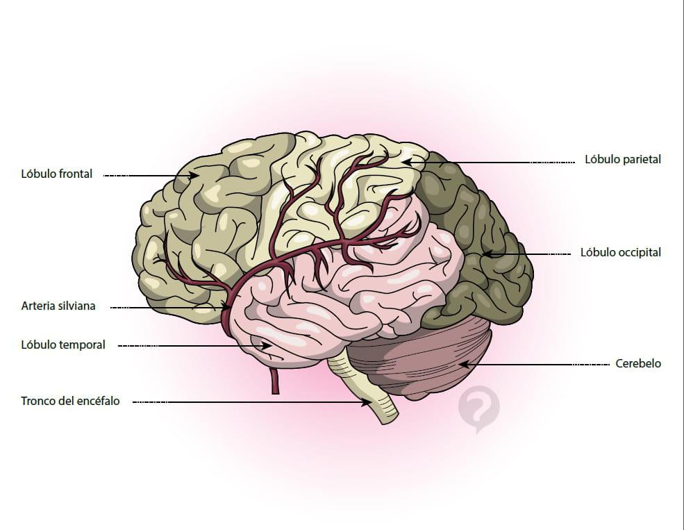 Arteria silviana - Definición