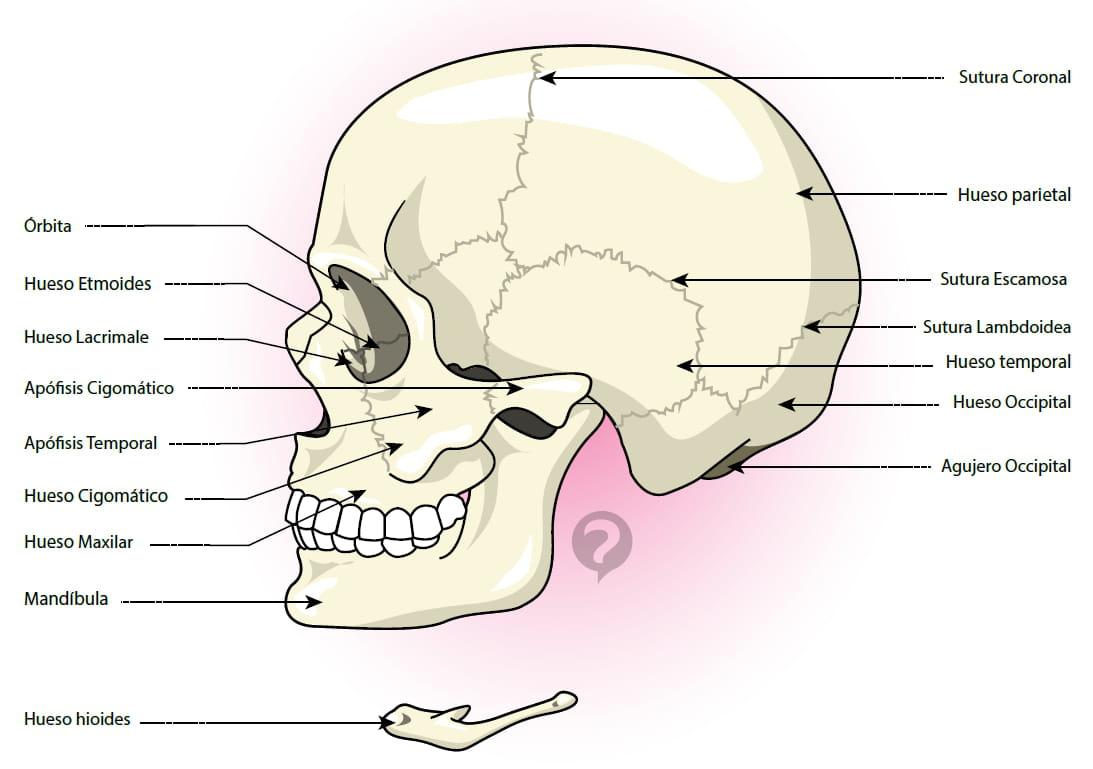 Hueso occipital - Definición