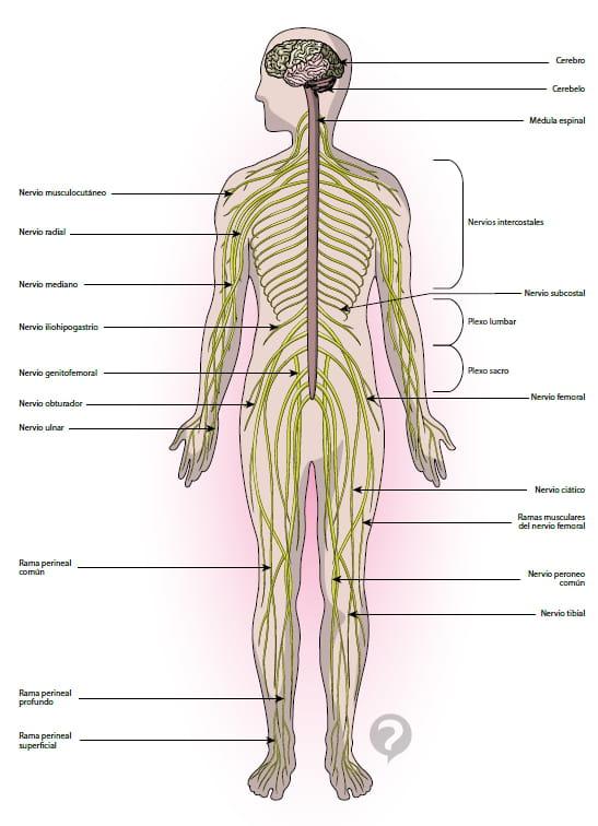 Nervio simpático - Definición