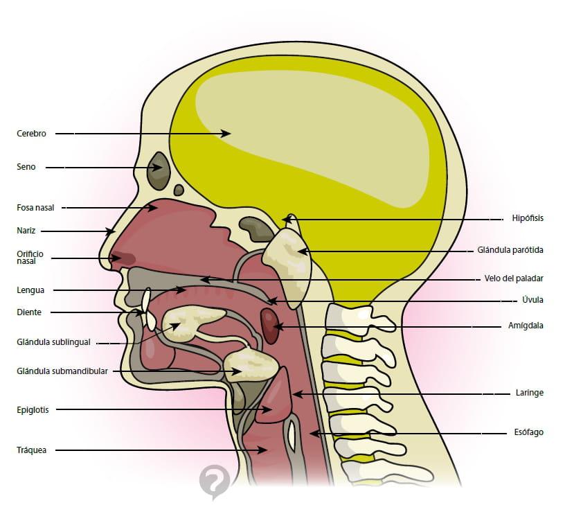 Magnífico Anatomía De La Garganta De La Nariz Motivo - Anatomía de ...