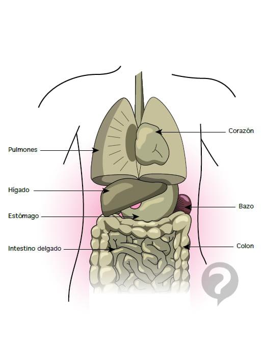 Estómago (anatomía) - Definición