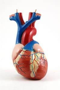 Consiguen regenerar con células madre el músculo cardiaco dañado tras un infarto