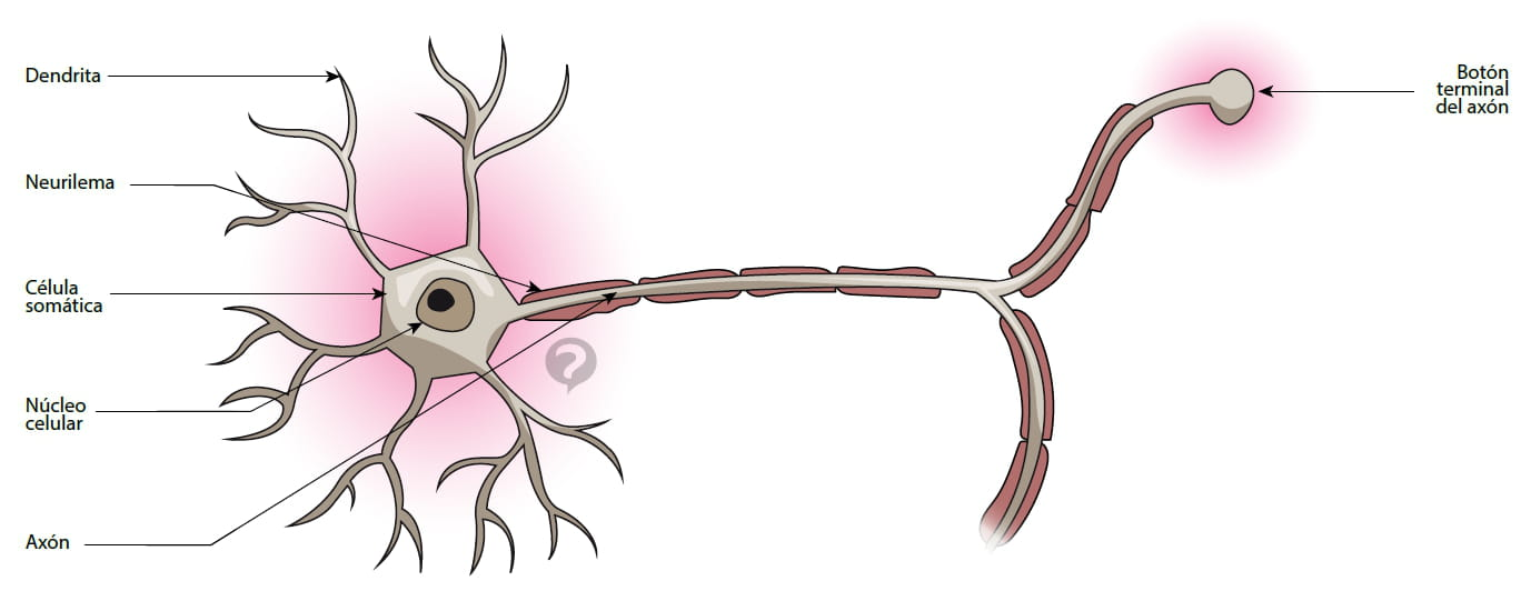 Neurona - Definición