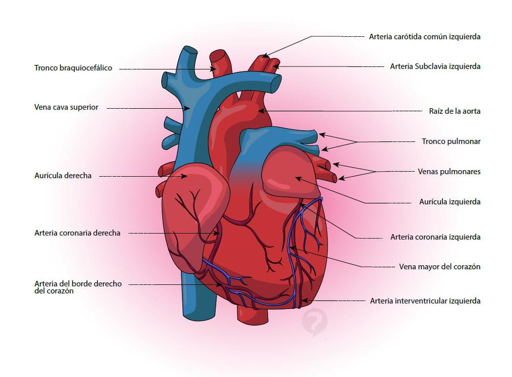 Arteria coronaria - Definición