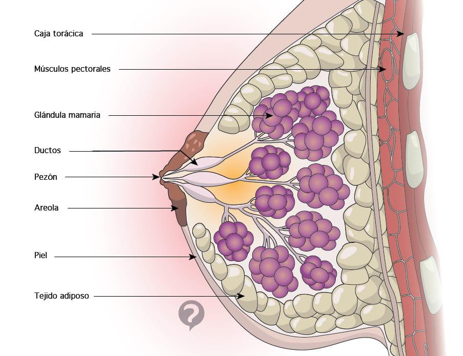 Areola (anatomía) - Definición