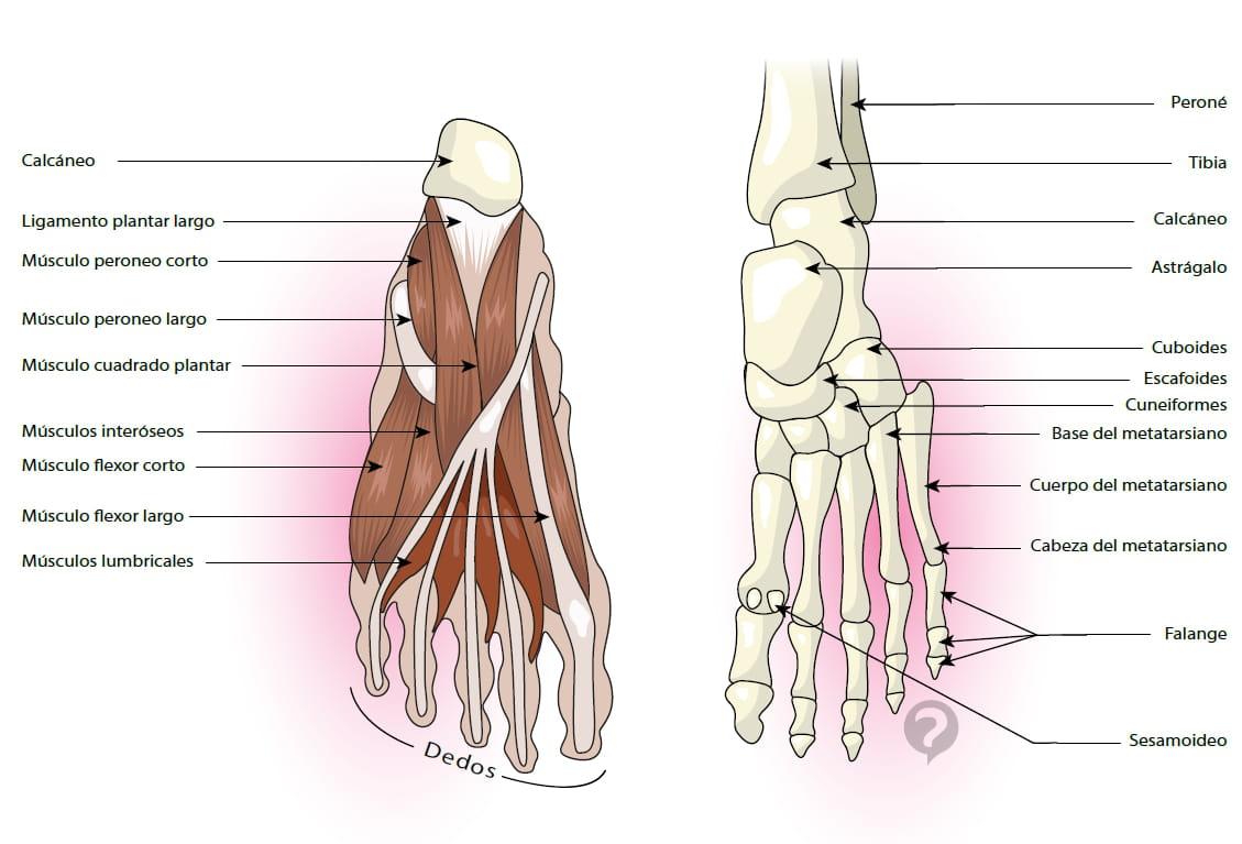 Excepcional Pie Diagrama De La Anatomía Del Hueso Bandera - Anatomía ...