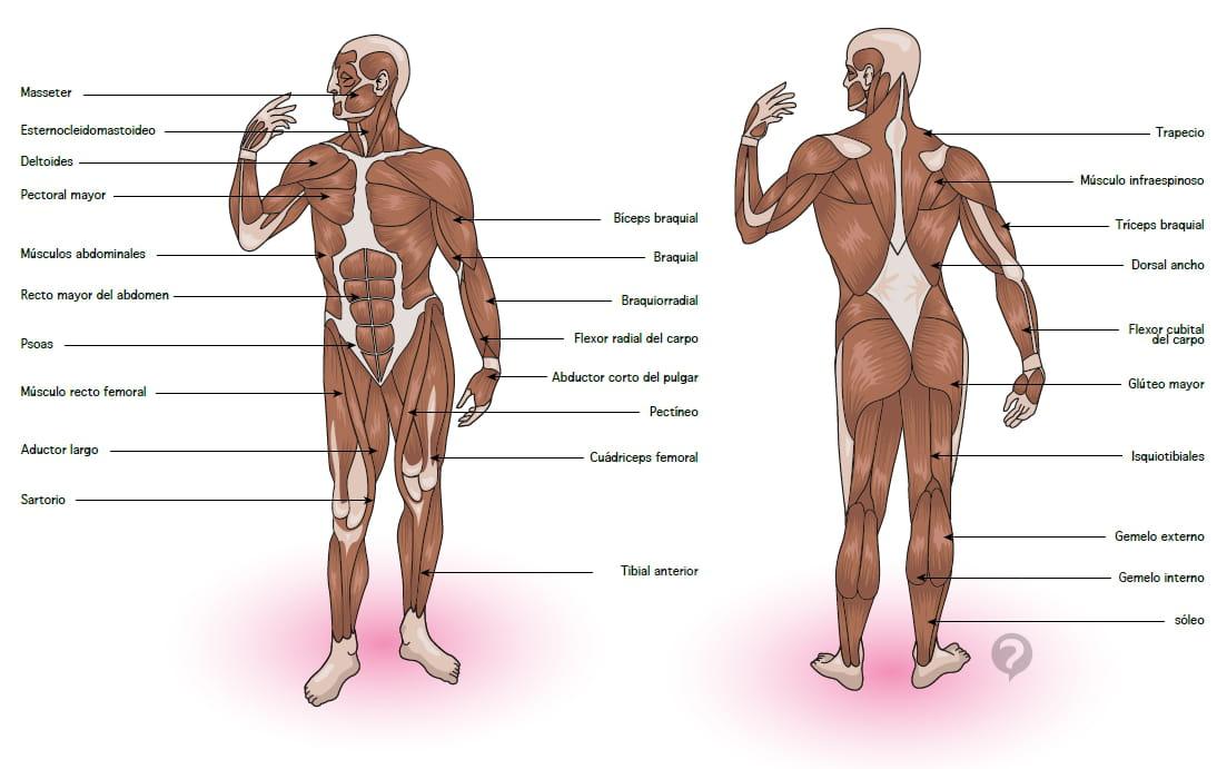 Músculo esquelético- Definición