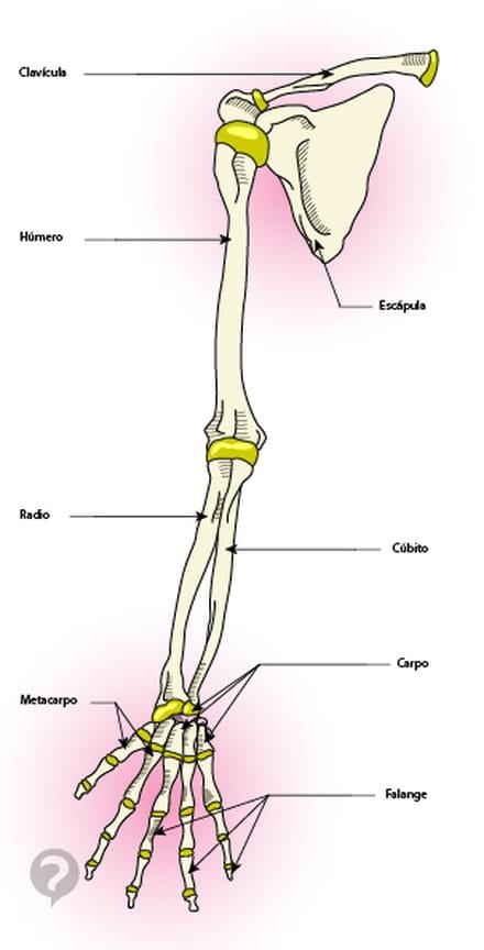 Miembros superiores (brazos) - Definición