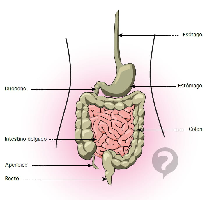 Asombroso Diagrama De Intestino Delgado Friso - Anatomía de Las ...