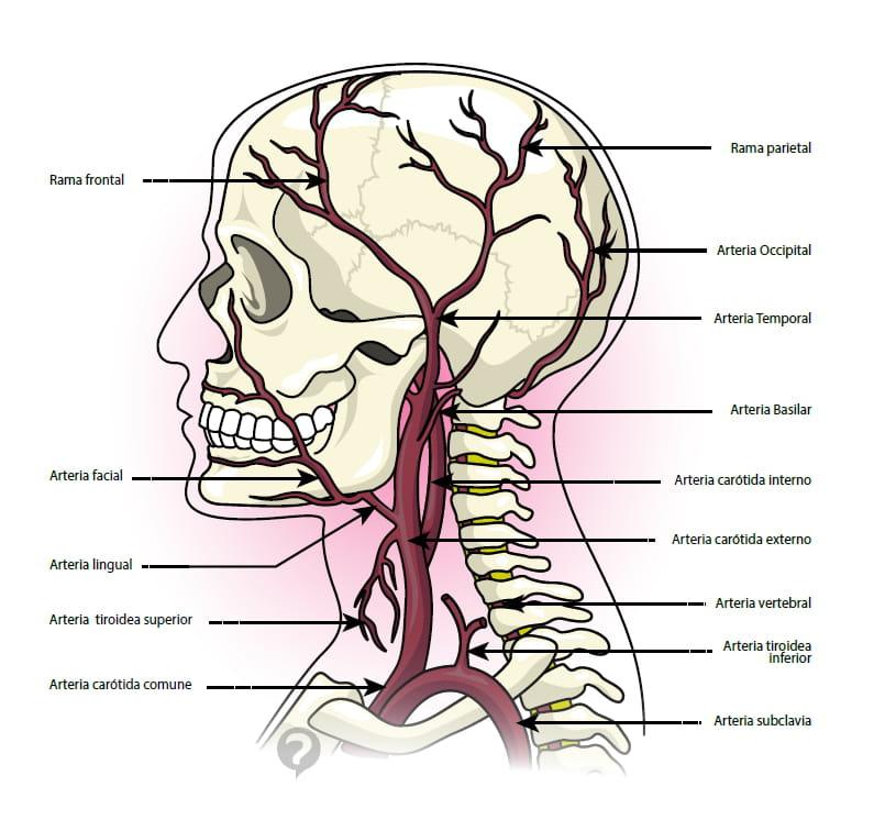 Arteria temporal - Definición