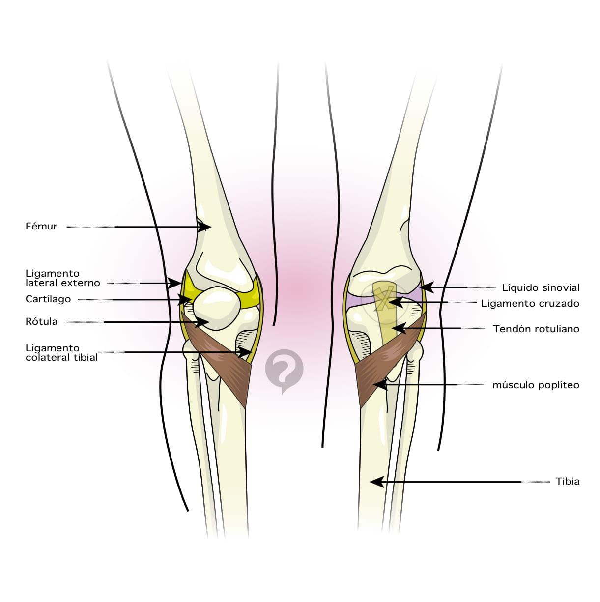 Contemporáneo Diagrama De Ligamento Ideas - Imágenes de Anatomía ...