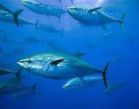La amenaza ecológica que se oculta tras la creciente afición por comer sushi