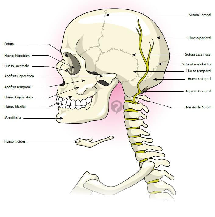 Nervio de Arnold - Definición