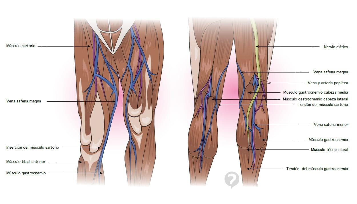 Músculo tríceps sural - Definición