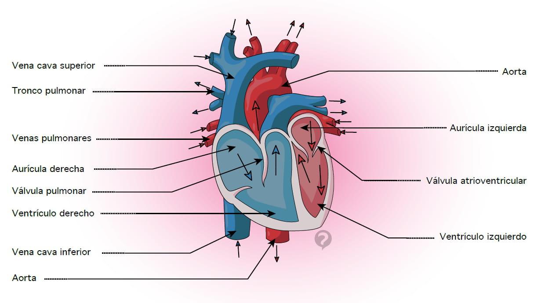 Arteria pulmonar - Definición